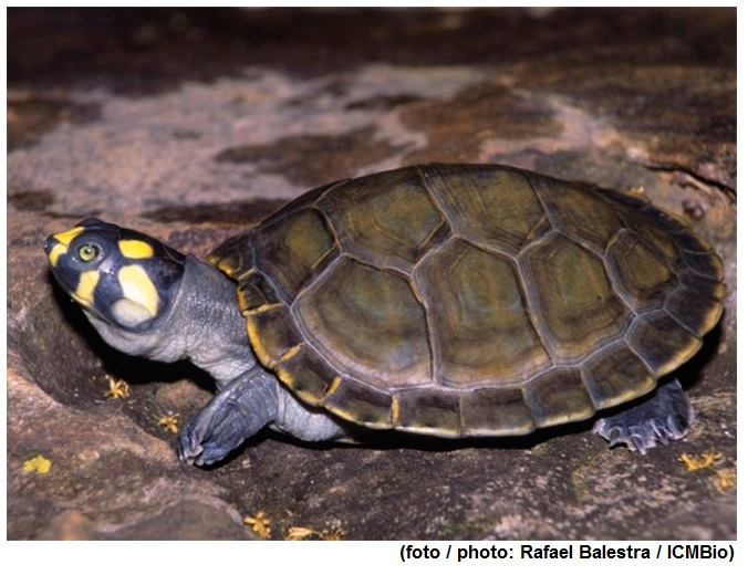 History of side-necked turtle diversification revealed