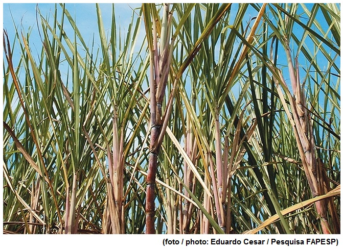Researchers unveil stages of sugarcane development